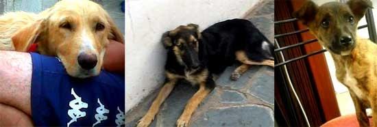 Perros en adopción, cachorros y adultos