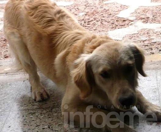 Buscan a una perra perdida