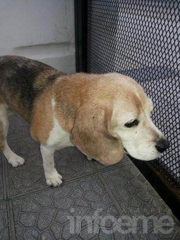 Buscan a los dueños de esta beagle