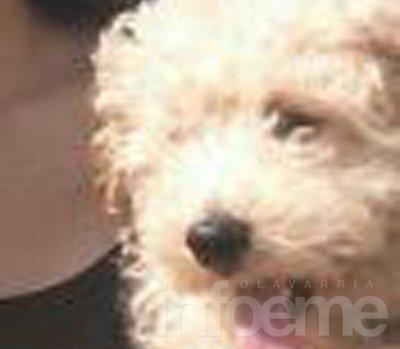 Perros perdidos y en adopción