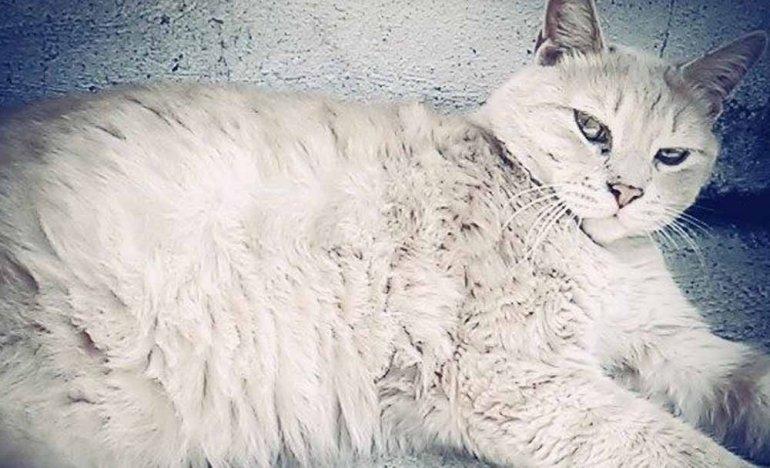 Buscan a un gato perdido en Barrio Lourdes