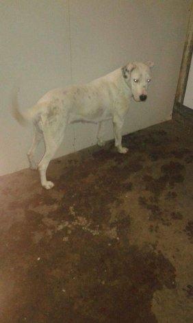 Una perra Dogo se perdió en Roca Merlo