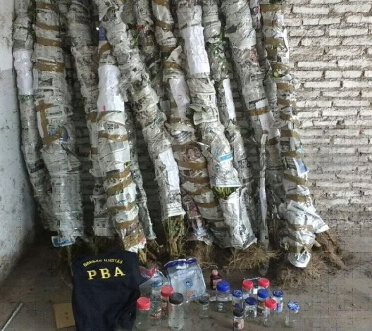 Se secuestraron 50 plantas de marihuana y una persona fue aprehendida