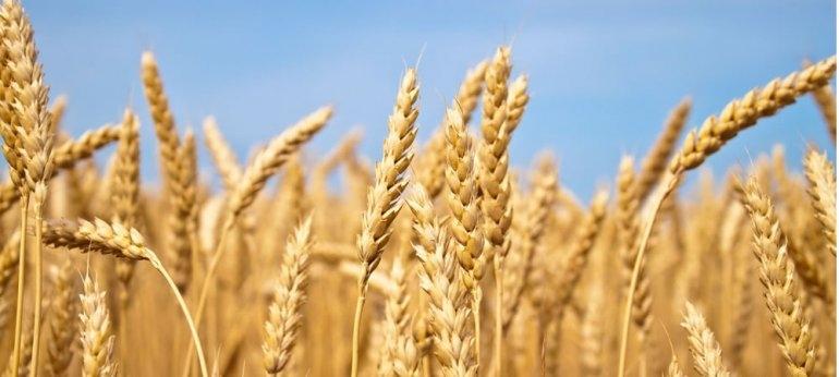 Preocupa la baja calidad del trigo