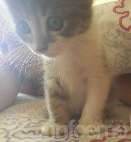 Buscan a una gatita de tres meses