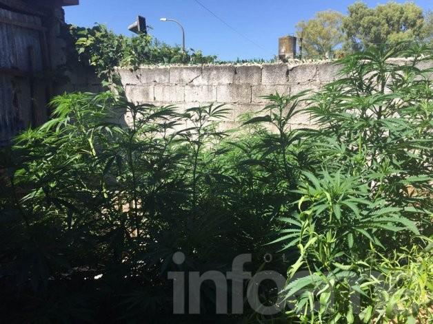 Desbaratan cultivo de marihuana en Sierras Bayas y atrapan a un menor