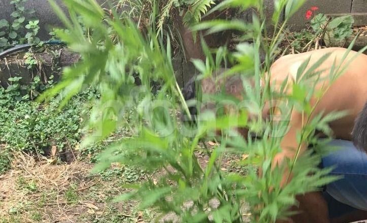 Secuestraron plantas de marihuana tras un allanamiento en Sierras Bayas