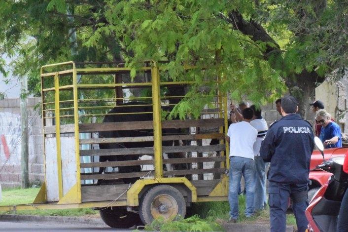 Insólito: caos vehicular por una vaca suelta que se paseó por la Ciudad