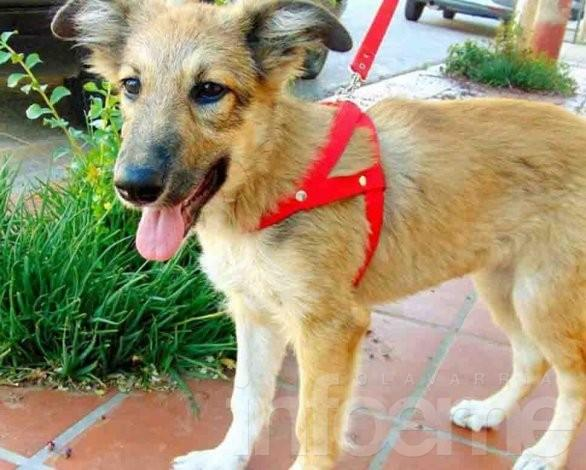 Ofrecen cachorras en adopción responsable