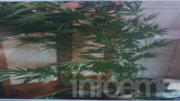 Secuestran marihuana en Hinojo