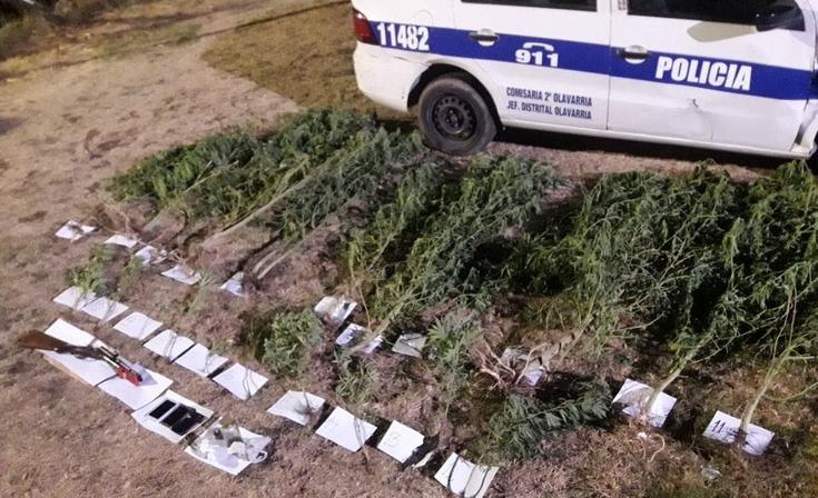 Secuestran más de 20 plantas de marihuana en un allanamiento