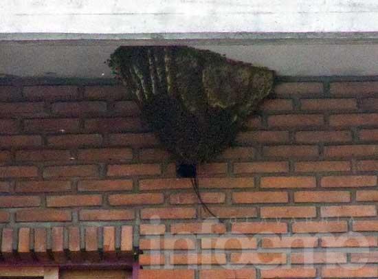 Apicultores, bomberos y defensa civil para retirar un enorme panal de abejas