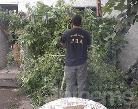 Secuestran plantas de marihuana en el  barrio Luján