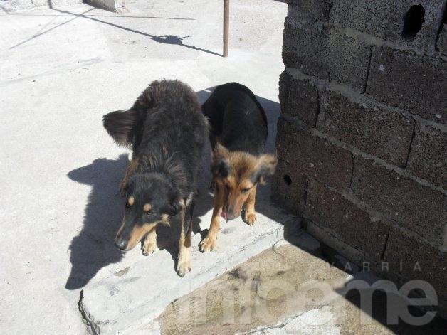 Se dan en adopción perros tamaño mediano
