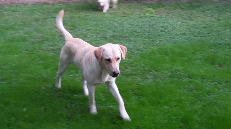 Buscan a los dueños de este Labrador