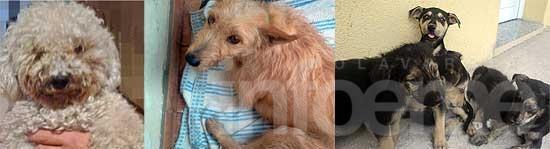 Perros hallados y en adopción