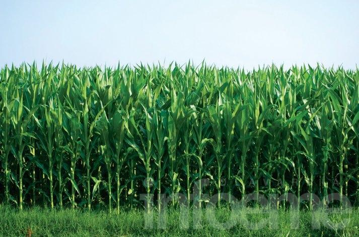 Nueva forma de imputar las toneladas de maíz declaradas