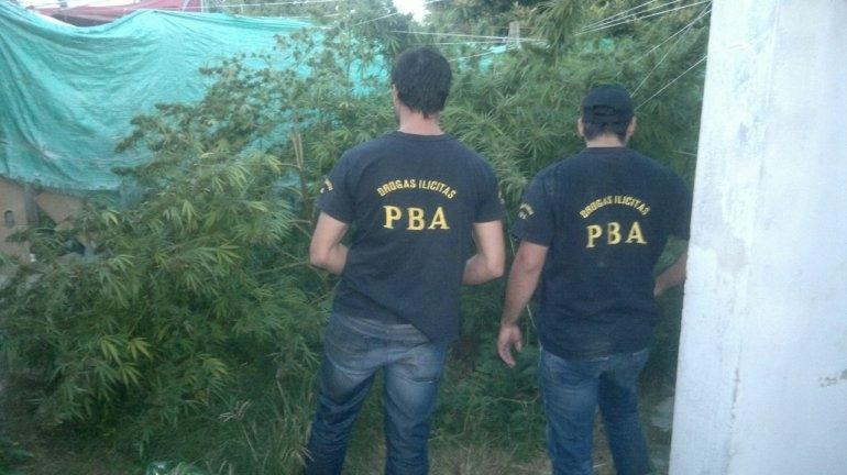 Secuestran gran cantidad de plantas de marihuana tras denuncia al 0800