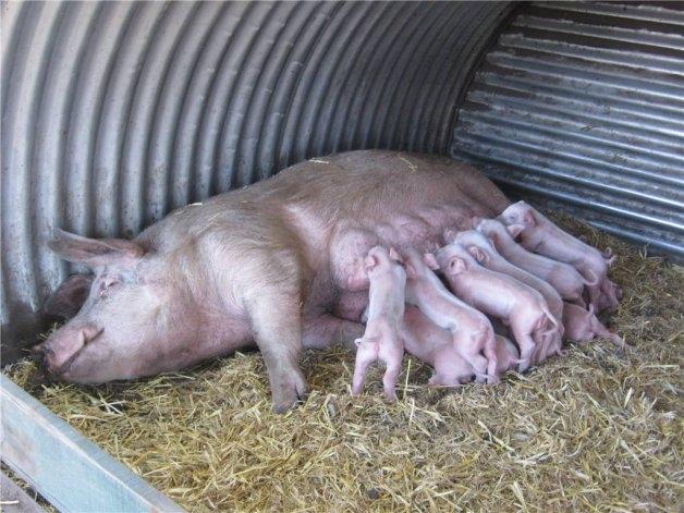 Manejo del semen para la producción porcina