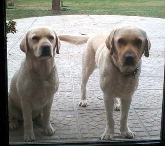 Labradores perdidos y perra en adopción