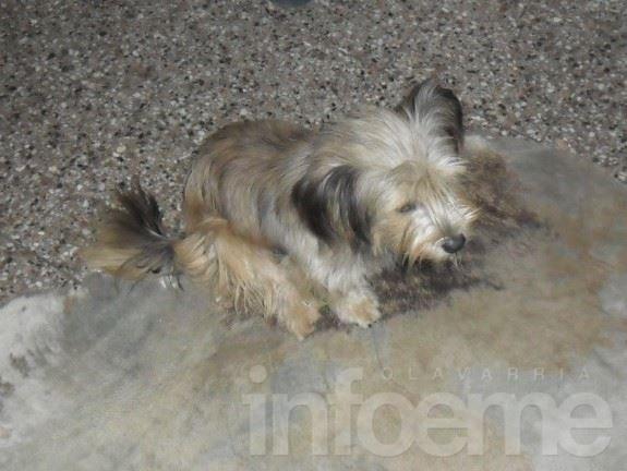 Loma Negra, se perdió un perro pequeño
