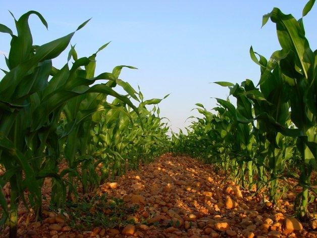 Elección de la fecha de siembra del maíz