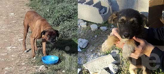 Perro perdido, otro encontrado y cachorro en adopción