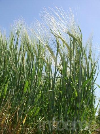 Cultivo de cebada: fisiología y enfermedades
