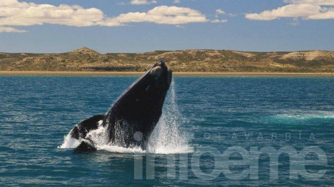 La llegada de las ballenas se puede ver en vivo