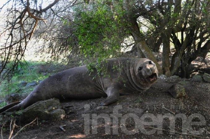 Un elefante marino apareció en un campo de Buenos Aires