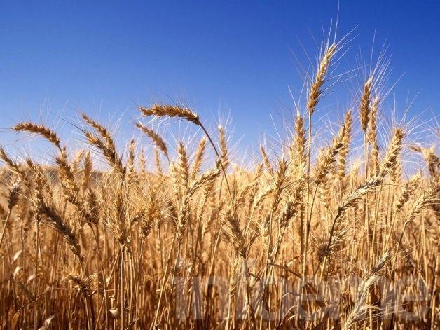 La siembra del trigo: en picada