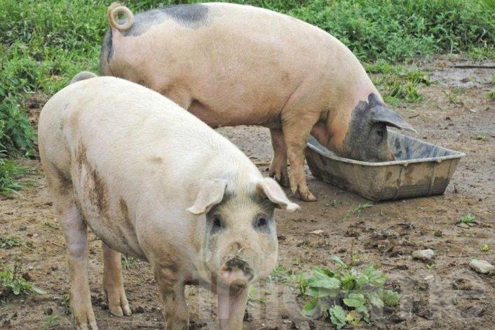 Detectaron un cerdo con triquinosis en Hinojo