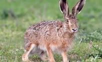 Habilitan temporada de caza comercial de liebre europea