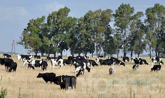 Olavarría, el distrito con más cabezas de ganado de la Provincia
