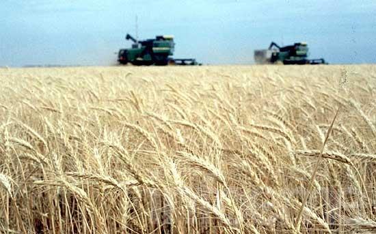 Las lluvias y el mercado complican la siembra de trigo