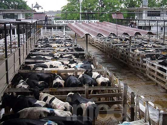 Plaza firme con mejoras para la vaca