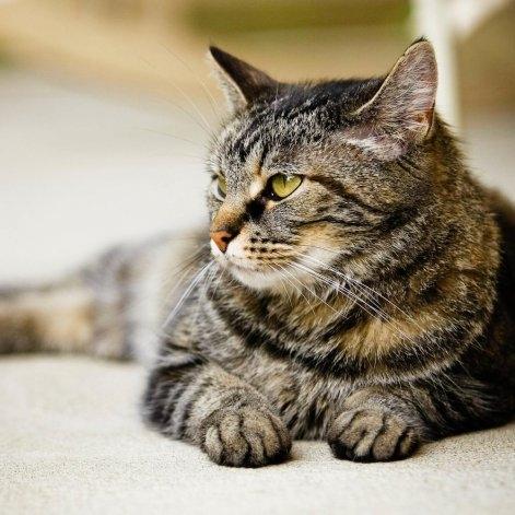 Australia anunció matanza de gatos