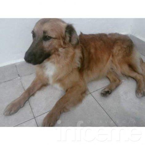 Buscan desesperadamente a un perro en San Vicente Sur