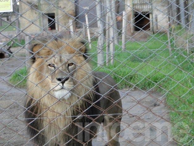 """Encuentran muertos a la leona africana y un cóndor andino en """"La Máxima"""""""