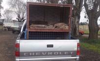 Atrapan a galgueros en campo: sedaban a los perros