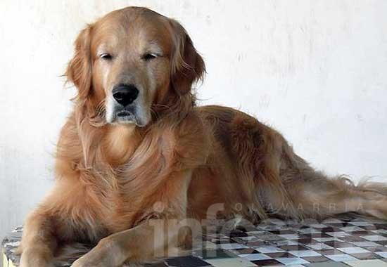 Gratifican devolución de golden retriever