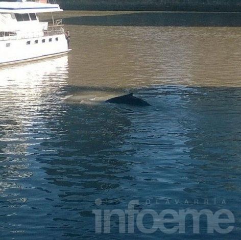 Apareció una ballena en Puerto Madero