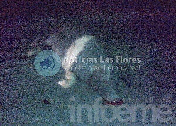 Insólito: Comisario chocó contra un chancho en la Ruta 3