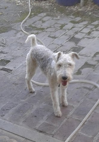 Ofrecen recompensa por un Fox Terrier perdido