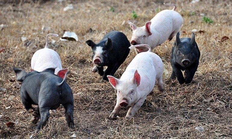 Porcinos: Un gran mercado para los pequeños