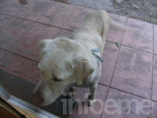 Labrador con collar de Argentina busca a sus dueños