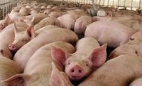 Importación de cerdo de EE.UU pondría en riesgo a 35 mil empleos