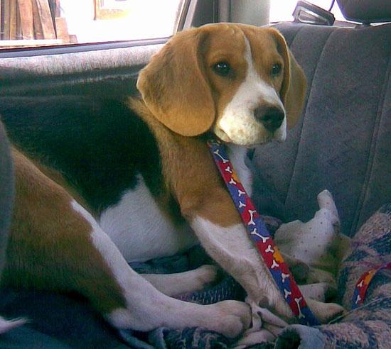 Buscan a una perra Beagle