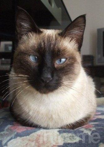 Se busca una gata siamesa