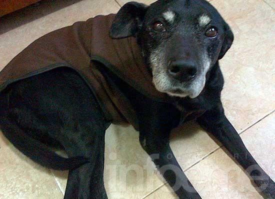 Buscan perros perdidos y dan una labradora en adopción